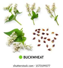 Buckwheat isolated on white. Buckwheat grain, seed, flower, leaf, branch on white.