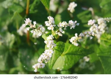 Buchweizenpflanze mit Blume im Garten.