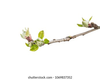 Bud of apple tree isolated on a white background