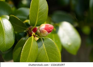 Bud of Camellia - Camellia japonica - is in Fukuoka prefecture, JAPAN.