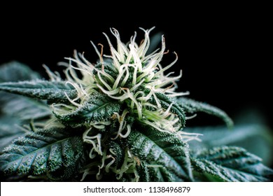 bud cannabis plant flowering when growing marijuana, trichomes and hairs