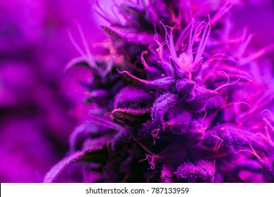 bud cannabis plants under the LED modern lighting of the full spectrum indoors and in a greenhouse