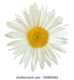 bud of a daisy flower isolated on white background with clipping path