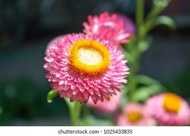 Bud drop Helichrysum