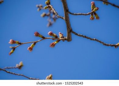 Bud of the image of the weeping cherry tree