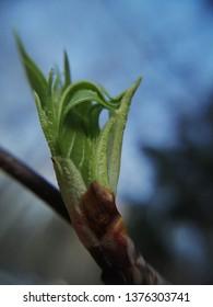 Bud leaf blossoms