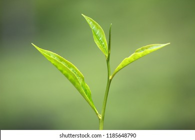 A bud and leaves called 'flush' of the tea shrub (Camellia sinensis).