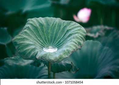 Lotus Pond Images Stock Photos Vectors Shutterstock