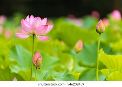 The bud of a lotus flower.Background is the lotus leaf and lotus flower and lotus bud and tree.Shooting location is the Sankeien in Yokohama, Kanagawa Prefecture Japan.