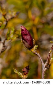 A bud of magnolia blossom. The cold April won't let them blossom.