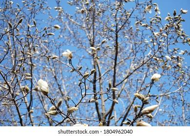 bud of Magnolia denudata in March
