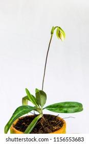 Bud of Paphiopedilum Orchid