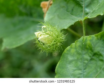 Bud of passion fruit flower. Passiflora foetida,wild maracuja, bush passion fruit or wild water lemon flower a creeping vine plant
