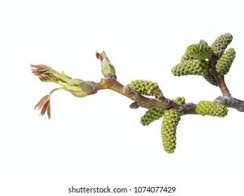 Bud of  Persian walnut tree - Juglans regia isolated on white