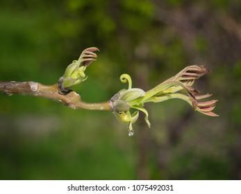 Bud of  Persian walnut tree - Juglans regia.