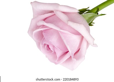 Bud pink roses on white background