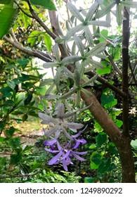 A bud of Purple - green Petrea racemosa or Purple Wreath (Petrea volubilis) flower.