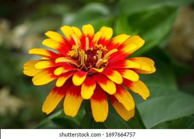 Bud of red-yellow zinnia close-up.