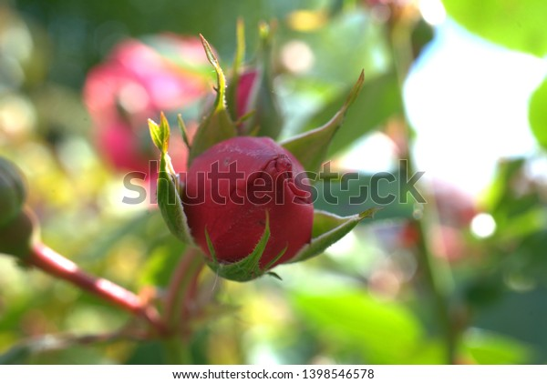 bud of a rose in the sunshine