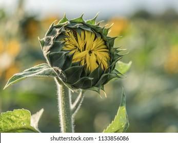 Bud of sunflower on a field of sunflowers near Warsaw
