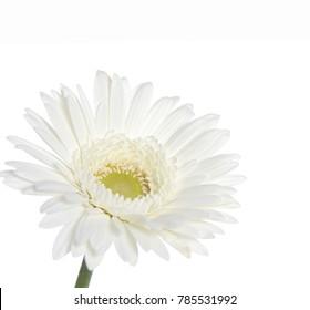 Bud of white chrysanthemum with center closeup