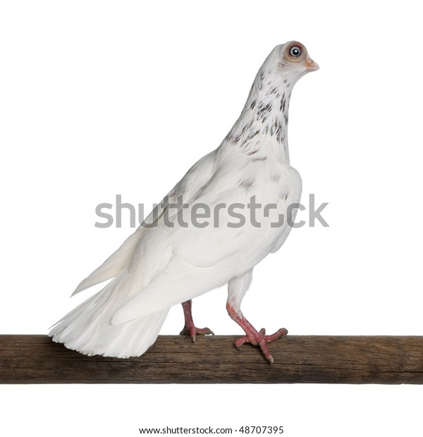 Budapest Highflier pigeon perched on stick in front of white background