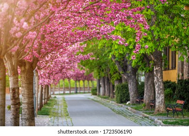 Budapest, Hungary - Blooming pink japanese cherry trees at the empty Arpad Toth Promenade (Toth Arpad Setany) at Buda Castle District on a warm, sunny spring morning