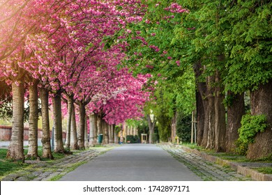 Budapest, Hungary - Blooming pink japanese cherry trees and green chestnut trees at the empty Arpad Toth Promenade at Buda Castle District on a warm, sunny spring morning. Selective focus