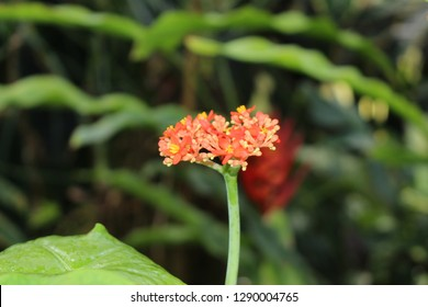 """""""Buddha Belly Plant"""" flowers (or Bottleplant Shrub, Gout Plant, Purging-nut, Guatemalan Rhubarb) in St. Gallen, Switzerland. Its Latin name is Jatropha Podagrica, native from Guatemala to Panama."""