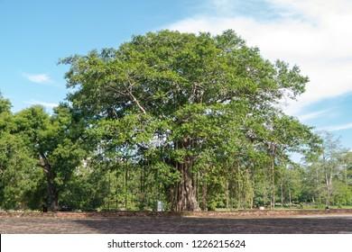 Buddhist Bodhi tree (Ficus religiosa). Sri Lanka.