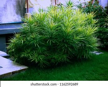 Buddhist Pine Or Podocarpus Macrophyllus In The House Garden Bali, Indonesia