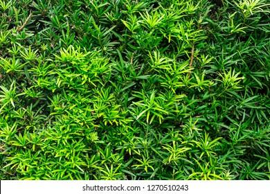 Buddhist pine (Podocarpus macrophyllus) - Pembroke Pines, Florida, USA