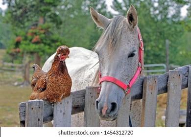 Buddies: Arabian Mare and Chicken together by wooden Gate in Barnyard