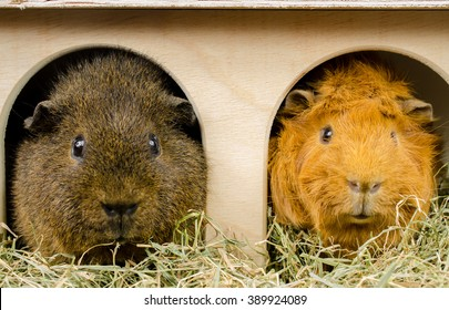 buddies at home (rex and short haired peruvian guinea pig)