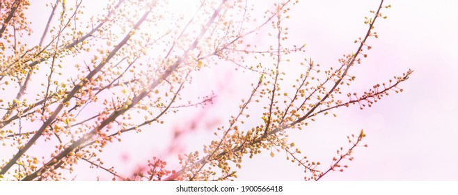 budding cherry tree in springtime, spring awakening branches isolatet on light pink background, tree buds burst open in springtime