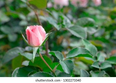 Budding pink rose on plant in green garden.