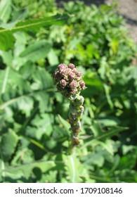Budding plant pieces of lactuca serriola (prickly lettuce)