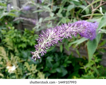 A buddleja, or buddleia or butterfly bush with lilac flowers and tiny buds