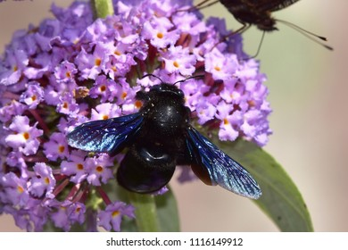 Buddleja davidii - butterfly bush with violet carpenter bee