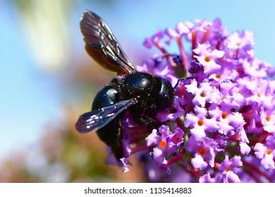 Buddleja davidii - butterfly bush with violet carpenter bee