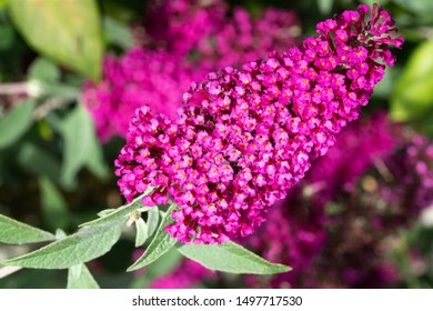 Buddleja (Buddleja davidii), flowers of summer