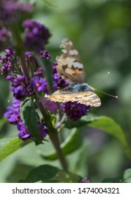 Buddleja davidii Franch, Scrophulariaceae, Orange-eye, Butterfly-bush, Summer-lilac with a Cosmopolitan