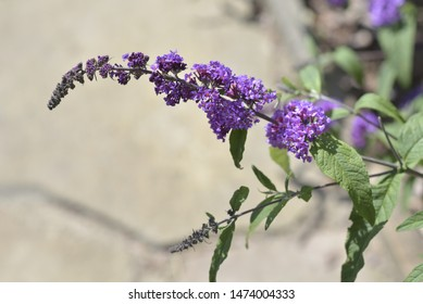 Buddleja davidii Franch, Scrophulariaceae, Orange-eye, Butterfly-bush, Summer-lilac