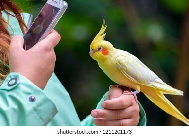 Budgerigar is a long-tailed parrot, with yellow feathers is sitting on the hand of girl. The girl take a photo of parrot by phone. Human communicates with the bird