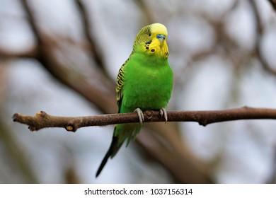 budgerigar looks around courageously