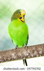 The budgerigar (Melopsittacus undulatus) on the brench