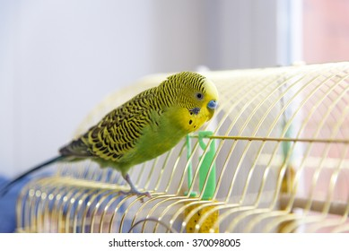 Budgerigar on the cage. Budgie
