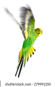 Budgerigar. Parrot on white background.