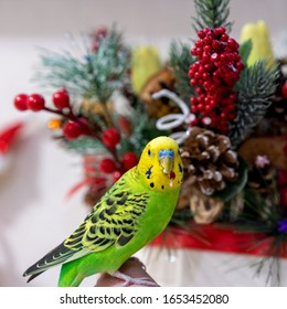 Budgerigar, pet poultry eating red berries from a Christmas wreath. Holiday, a bird nibbles with a beautiful bouquet. The parrot is looking at the camera.