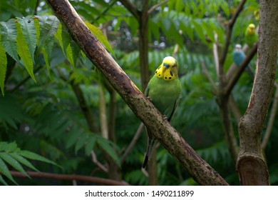Budgerigar sits on the branch and observes